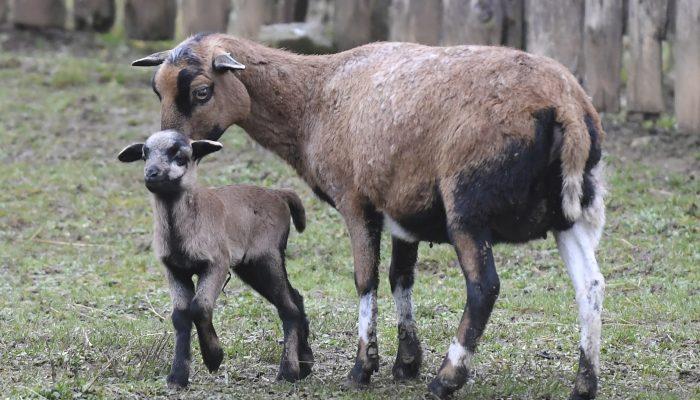 Prvým tohtoročným mláďatkom, ktoré privítali v košickej Zoologickej záhrade, sa stal baranček ovce kamerunskej. Narodil sa 1. januára 2021. Na svet ho priviedla 10-ročná  matka pochádzajúca zo Zooparku Vyškov. Otcom je šesťročný baran, ktorý prišiel z Maďarska.  Malý baranček rozšíril deväťčlenné stádo, ktoré sa skladá zo siedmich samíc a dvoch baranov. Na snímke mláďa s matkou. V Košiciach, 3. januára 2021. FOTO TASR – František Iván